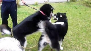 大型犬アラスカンマラミュートの姉妹犬の二人が激しくじゃれあう様子です.