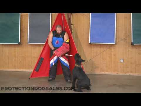 "Giant Schnauzer ""Kosmo"" 16 Mo's Protection Training & Development"
