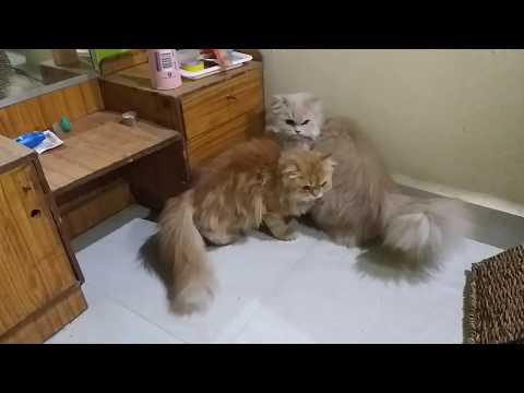 Persian cats in my breeding set-up || triple code heavy bone ||