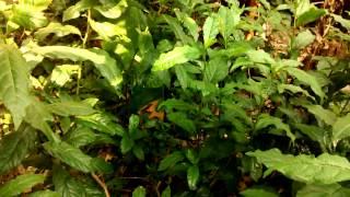 Guiné pipi Petiveria alliacea