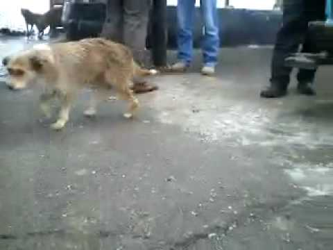 Storia del massacro di cani randagi in moldavia youtube for Youtube cani