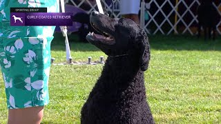 Retrievers (CurlyCoated)   Breed Judging 2021