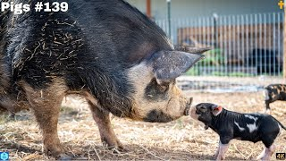 4K - Animal world Pigs - the Netherlands - 2020 #139