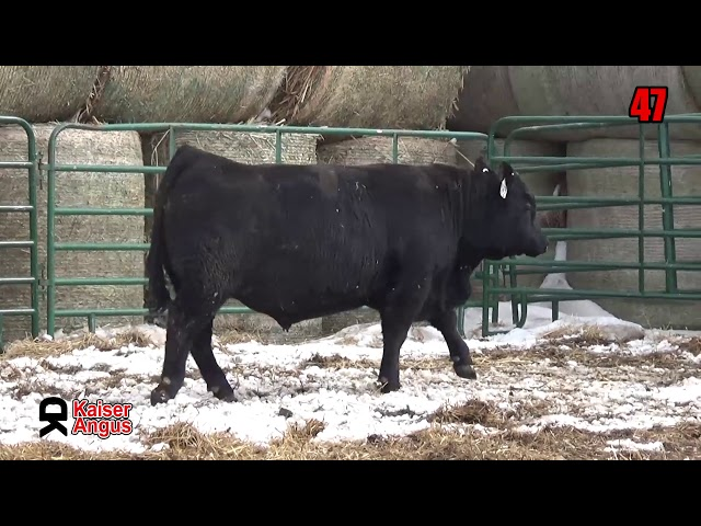 Kaiser Angus Ranch Lot 47