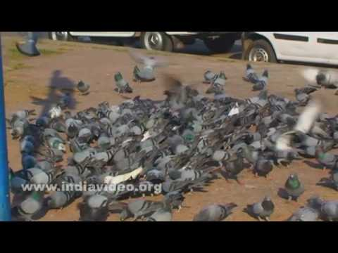 Flock of pigeons, a common sight in Hyderabad