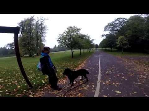 Flat Coated Retriever - Manners training