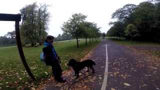 Flat Coated Retriever  Manners training