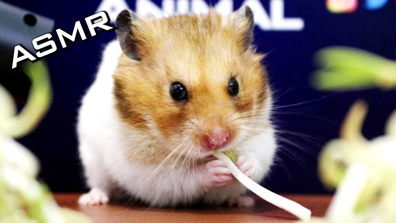 Hamster Eating Bean Sprouts ASMR | Animals Cute Hamster
