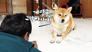 게임하는 주인에게 시비거는 강아지 / 시바견 곰이탱이 Shibainu