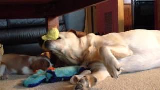 Cavalier King Charles Spaniel And Yellow Labrador Retriever Playing