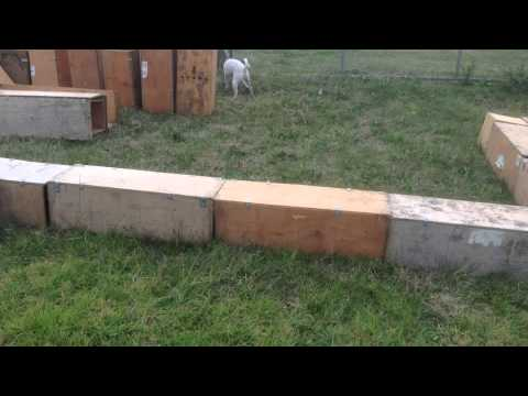 Tenterfield Terrier learns Earthdog for the first time 3