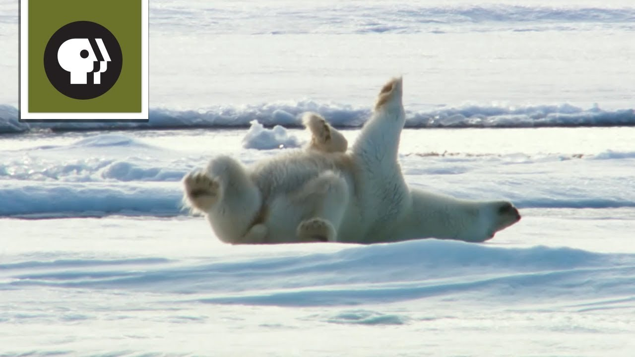 How Polar Bears Dry Off