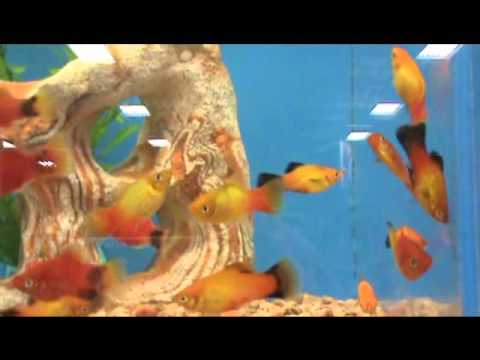 What are the signs that a female platy fish is about to ...