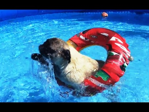 'Pugs Love Pools Compilation' || CFS