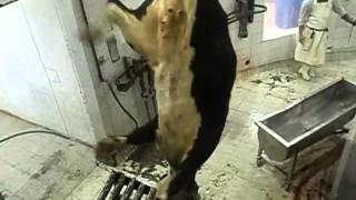 Vaca en matadero