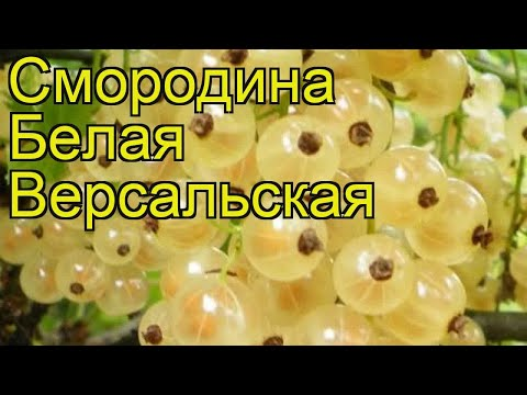Смородина белая Версальская. Краткий обзор, описание характеристик ribes niveum Versalskaia