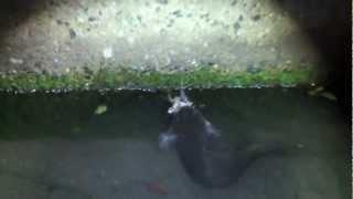 Catfish eating Frog ナマズがカエルを捕食 thumbnail