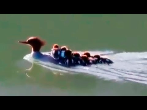 Baby Duck Swimming - Mother Duck Protect   ★ Wonderful Planet ★