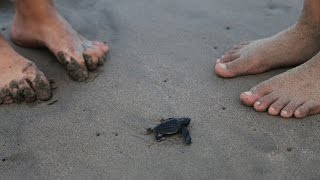 *Baby sea turtles* being hatched in Mexico