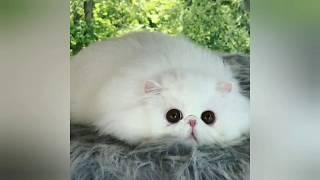 độ mèo không độ chó:chú mèo exotic đáng yêu nhất thế giới