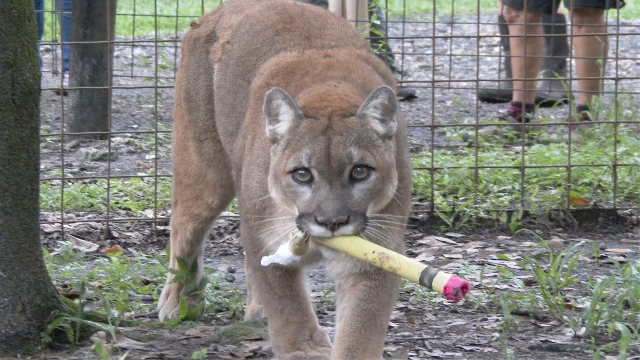 Back To School At Big Cat Rescue Youtube
