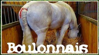 Boulonnais Cheval - Equus caballus - (Equidae) - Salon de l'Agriculture 2016 - 23/03/2016