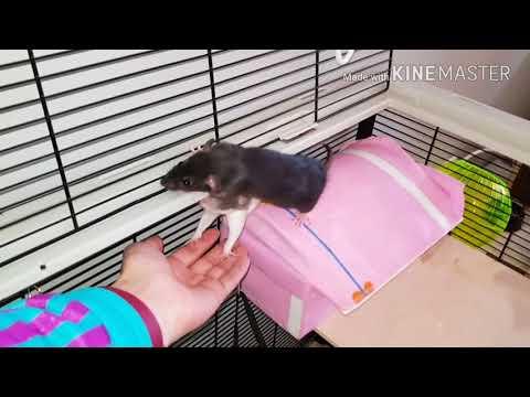 Como son de cari�osas las ratas dom�sticas