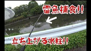 雷魚一撃!! スレまくった巨大雷魚を執念で釣り上げた!! snakehead fishing