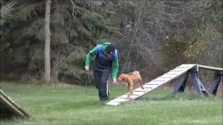 Lucy (vizsla) Dog Training Video Minneapolis