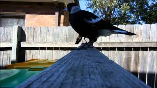 Best Ever Australian Magpie. How to train wild birds. Love the butcherbird at the end.