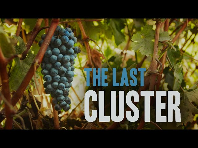 Picking the Last Grapes for Harvest 2020 in Israel | HaYovel