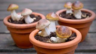 Как вырастить много белых грибов дома? РАЗОБЛАЧЕНИЕ  ОБМАНА