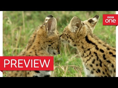 Cute Serval kittens practise play fighting - Animal Babies: Episode 1 Preview - BBC One