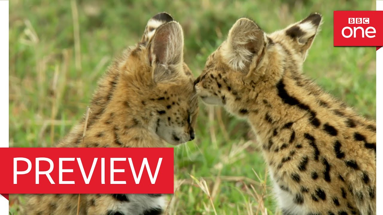 African Serval Cat Jumping and Serval Hunting - Videos