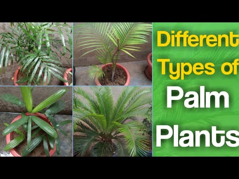 Different Types Palm Plant(tree)🌴🍀🌴