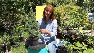 видео Выбор растения для бонсай