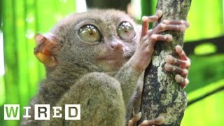 Absurd Creatures | The Tarsier Leaps Like A Superhero, Looks Like Yoda