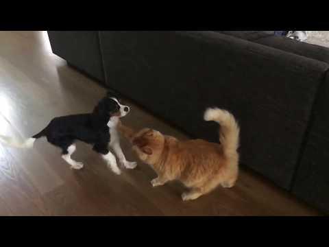 Cat punches dog (Cat vs. dog boxing)