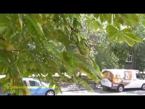каштана конского листья