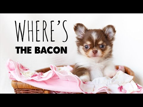 I test my Chihuahuas to see how smart they are | Sweetie Pie Pets