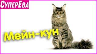 Сколько весит мейн-кун? Самая большая домашняя кошка на земле. Порода Мейн-кун.