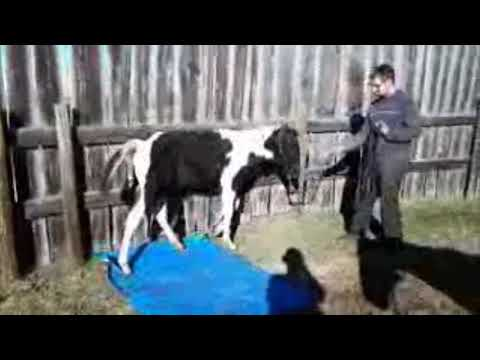 WH Midnight Traveler - Tarp Sacking Out - APHA Performance/Stud Prospect
