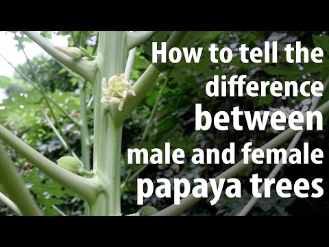 How to Tell The Difference Between Male and Female Papaya Trees