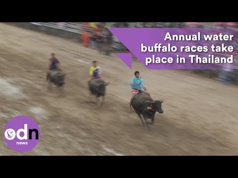 Annual water buffalo races take place in Thailand