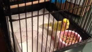 Sick Canary