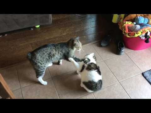 Manx vs Cat - Cats at Play