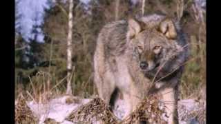 Download Песня старого волка Mp3 and Videos