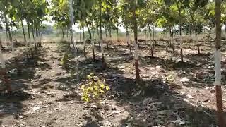 Teak wood farm at village INDRA-Manavadar-Junagadh-Gujarat-INDIA