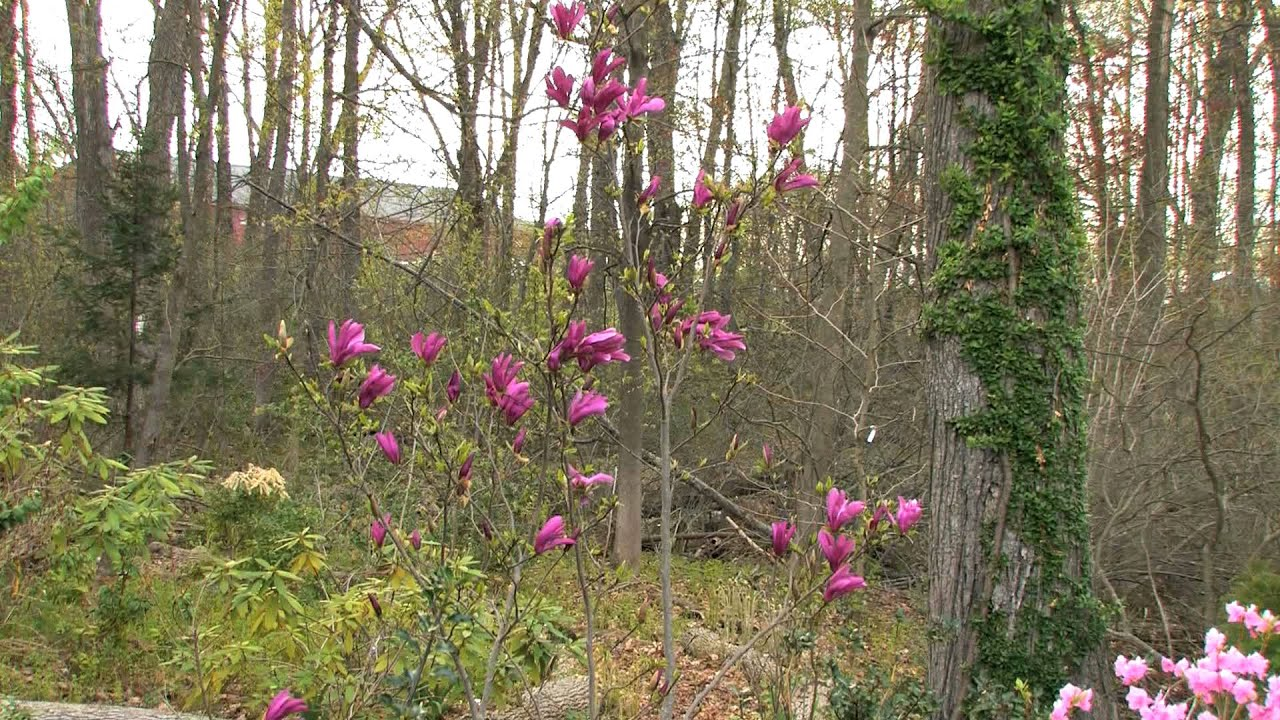 Growing A Betty Magnolia Youtube