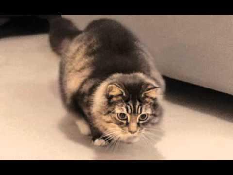 Cat Dancing to Disco Music